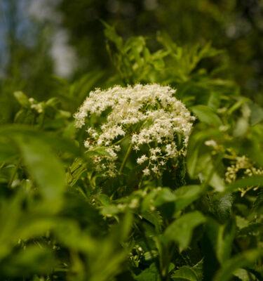 Sureau blanc / Sureau du Canada (Sambucus canadensis) | Jardin des vie-la-joie | Artisan semencier