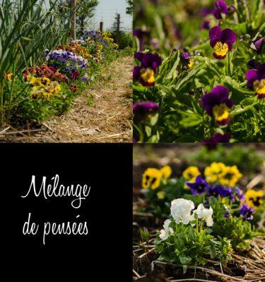 Mélange de pensées (Viola spp. ) | Jardin des vie-la-joie | Artisan semencier