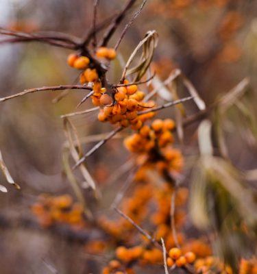 Argousier (Hippophae rhamnoides) | Jardin des vie-la-joie | Artisan semencier