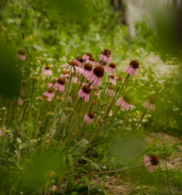Échinacea augustifolia (Echinacea augustifolia) | Jardin des vie-la-joie | Artisan semencier