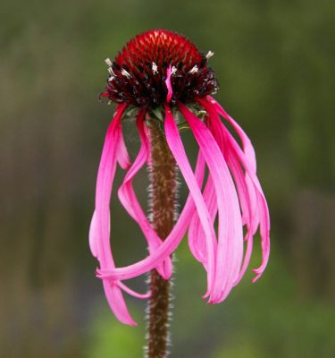Échinacea pâle (Echinacea pallida) | Jardin des vie-la-joie | Artisan semencier