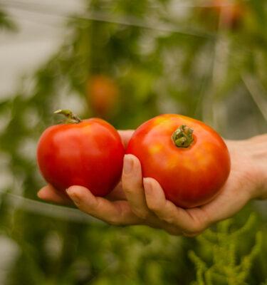 Tomate Grosse rouge unanime (Lycopersicon esculentum)   Jardin des vie-la-joie   Artisan semencier