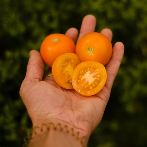 Semences de tomate Jubilée (Lycopersicon esculentum)   Jardin des vie-la-joie   Artisan semencier