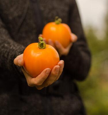 Tomate Yellow Scotland (Lycopersicon esculentum)   Jardin des vie-la-joie   Artisan semencier